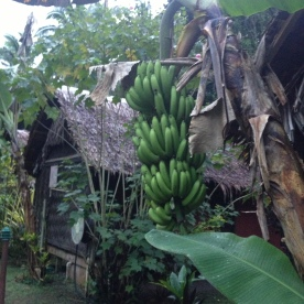 Bures and Bananas @ Mango Bay Resort, Coral Coast, Fiji