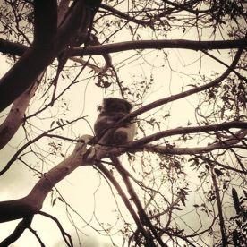Koala on the GOR - Great Ocean Road