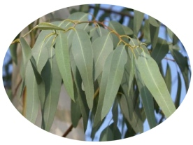 eucalyptus or gumtree (source: lavaleandherworld.wordpress.com)