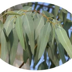 eucalyptus or gumtree (source: lavaleandherworld.wordpress.com)
