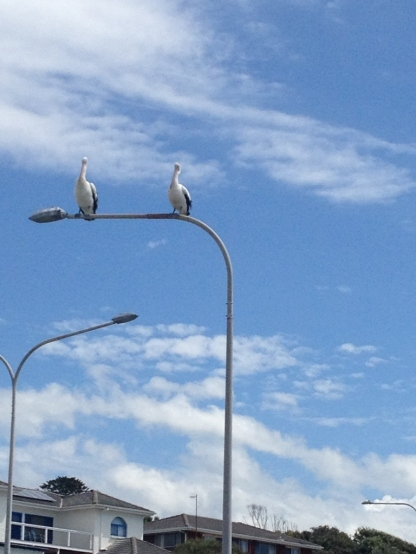 2 pelicans like 2 seagulls (1024x768) Photo credit lavalendherworld.wordpress.com