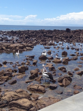 Shellharbour, pelikans (Photo credit lavalendherworld.wordpress.com)