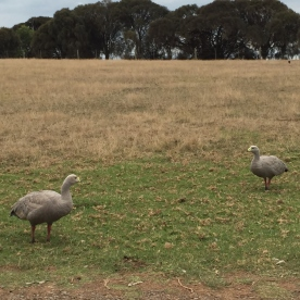 Cape Barron Geese, Churchill Island, Phillip Island (Phoyo Credit: lavaleandherworld.wordpress.com)