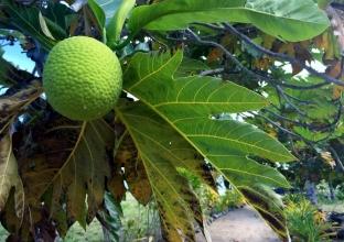 Fruit in Samoa (Photo credit: lavaleandherworld.wordpress.com)