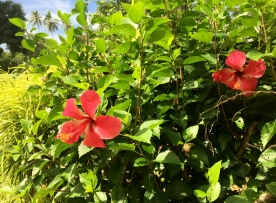 Flowers, Samoa (Photo credit: lavaleandherworld.wordpress.com)