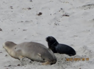 Mother & son, Seals beach, Kangaroo island (Photo credit: http://www.lavaleandherworld.wordpress.com)