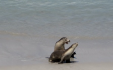 Is this Love? Seals beach, Kangaroo island (Photo credit: http://www.lavaleandherworld.wordpress.com)