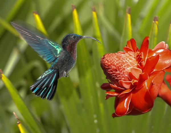 Fiore Martinica